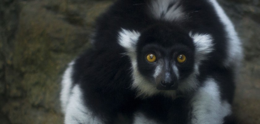 A black-and-white ruffed lemur at the Central Park Zoo in New York City. Photo Copywright Simone M. Scully