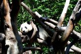 Are Panda Captive-Breeding Programs Worth The Cost?