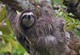 Why Sloths Leave the Trees to Poop