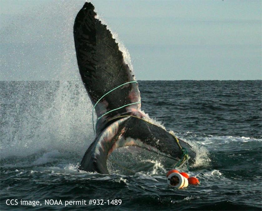Humpback whale flukes 07 - entangled - 932-1489