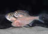 "NAUTILUS: Strange Eyeless Fish Creates Its Own Sonar Signals to ""See"""