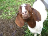 Goats Are Smarter Than You'd Think