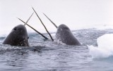 Scientist: Narwhal Horn Is A Big, Sensitive Tooth